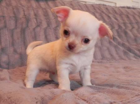 Chiot chihuahua male de couleur creme petites annonces - Chiots gratuit ...
